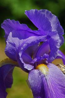 Nahaufnahme einer lila Iris by Juana Kreßner