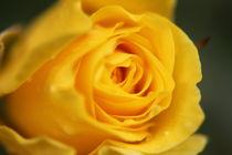 Gelbe Rose by aidao