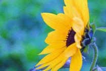 Sonnenblume  von aidao