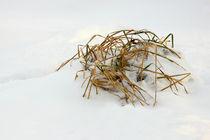Gras im Schnee - Grass in snow by ropo13