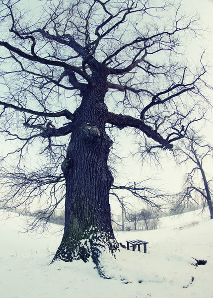 Old-tree-in-winter-2