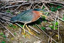 Green Heron by Paul Marto