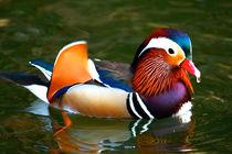 Mandarin Duck von Paul Marto