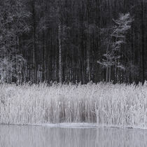 Frosty reeds by Mikael Svensson