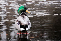 Ente auf Eis / Duck on ice von Barbara  Schreiber