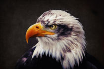 Weißkopfseeadler by AD DESIGN Photo + PhotoArt
