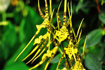 Orchidee Brassia by Jürgen Feuerer