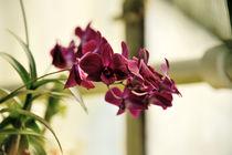 Orchidee Dendrobium  by Jürgen Feuerer