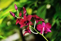 """Orchidee """"Thailand Black"""" by Jürgen Feuerer"""