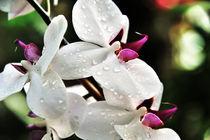 Orchidee mit Wassertropfen by Jürgen Feuerer