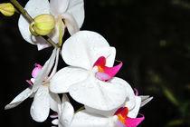 Orchidee Phalaenopsis by Jürgen Feuerer