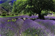 Lavendelfeld mit Baum von Jürgen Feuerer