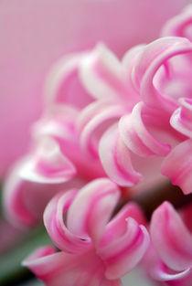Hyacinthe by Violetta Honkisz