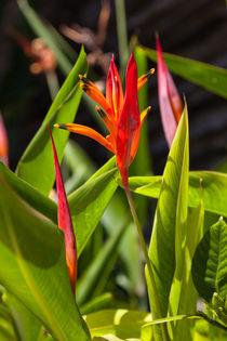 Parrot's flower Heliconia von Craig Lapsley