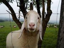 Neugieriges Schaf by aidao