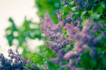 the lilac von Andreas Levi