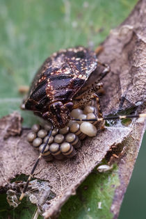 stink bug with eggs by Craig Lapsley