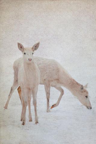 Hirsche-im-schnee