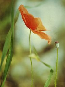 zarte Mohnblüte auf Textur von Rosina Schneider