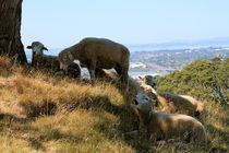 Yawning Sheep von Gitta Wick
