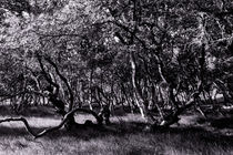 Storm Birches 2 by Michael Guntenhöner