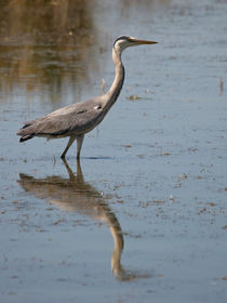 Heron reflection by linconnu