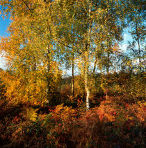 Autumn forest in the Ardennes von Intensivelight Panorama-Edition