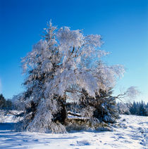 Beech tree in winter by Intensivelight Panorama-Edition
