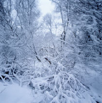 Winter storm in a forest von Intensivelight Panorama-Edition