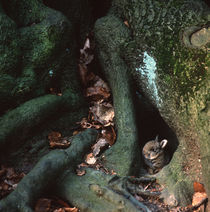 Rabbit hiding between roots by Intensivelight Panorama-Edition