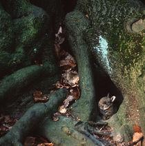 Rabbit hiding between roots von Intensivelight Panorama-Edition