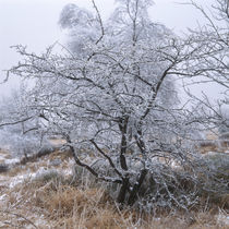 Frost covered tree in the moor von Intensivelight Panorama-Edition