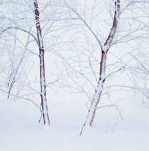 Birches in the snow by Intensivelight Panorama-Edition