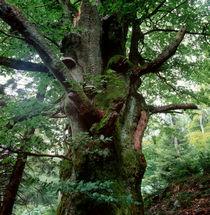 Old beech tree von Intensivelight Panorama-Edition