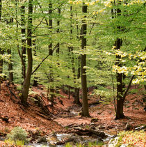 Beech forest in spring von Intensivelight Panorama-Edition