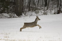 Leaping roe buck by Intensivelight Panorama-Edition