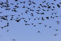 A swarm of Jackdaws von Intensivelight Panorama-Edition