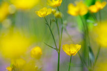 Blooming buttercup flowers by Intensivelight Panorama-Edition