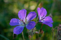 Woodland geranium by Intensivelight Panorama-Edition