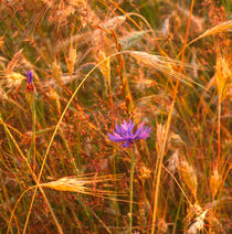 Cornflower in a barley field von Intensivelight Panorama-Edition