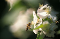Bee flying to an apple blossom by Intensivelight Panorama-Edition
