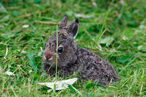 Mountain hare cub by Intensivelight Panorama-Edition
