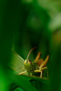 Portrait of a grasshopper von Intensivelight Panorama-Edition