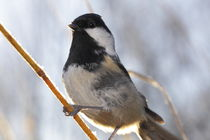 Portrait of a Coal tit von Intensivelight Panorama-Edition