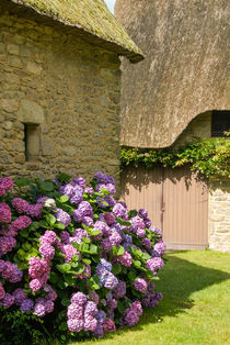 Violet hydrangeas at house wall - Violette Hortensien  an Hauswand by Ralf Rosendahl