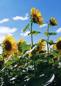 Sonnenblumen-70-50