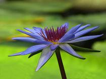 Blaue Seerose (nymphea) by Dagmar Laimgruber