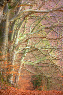Beech Forest by Gina Koch