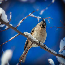 Tufted Titmouse by Chris Lord