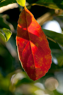 Red Leaf von Hemantha Arunasiri